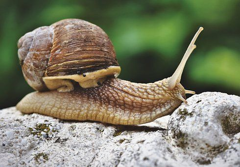 Free Image On Pixabay Snail Shell Mollusk Probe Mucus Snail Snail Shell Mollusk