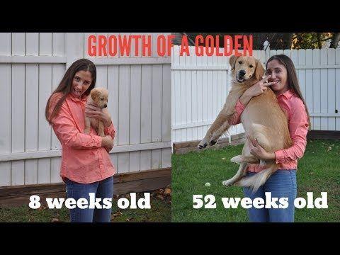 Labrador Retriever Puppies Growth Chart Golden Retriever Puppy Growing Up 8 Weeks 1 Year Labrador Retriever Puppy Growth Chart Labrador Retriever Puppies