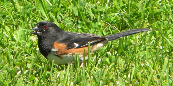 Rufous-sided Towhee by ScottMan2th
