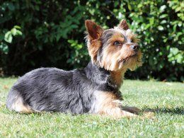 Yorkshire Terrier Or Australian Silky Terrier Which Is Best For