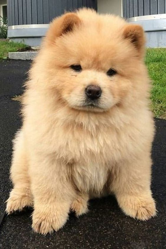 Pin By Lovely Loraena On P R E C I O U S 2020 Chow Chow