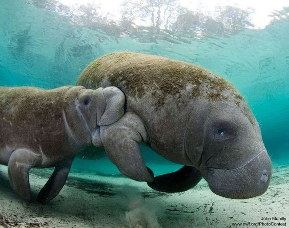 Swimming with manatees...some things are so special you always remember with awe and pleasure. Happy times. :)