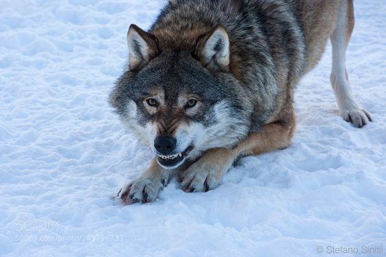 The Wild Wolf by StefanoSinisi. @go4fotos