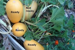 Brown Thumb Mama: When to Harvest Spaghetti Squash.  The seeds get planted today.  I can hardly wait for them to be ready for harvesting!