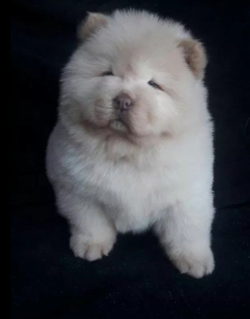 10 Best Chow Chow Dog Names Femaledognames Dog Names Dog Help