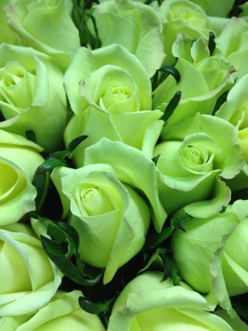 Light Green Roses green roses   Tumblr m...
