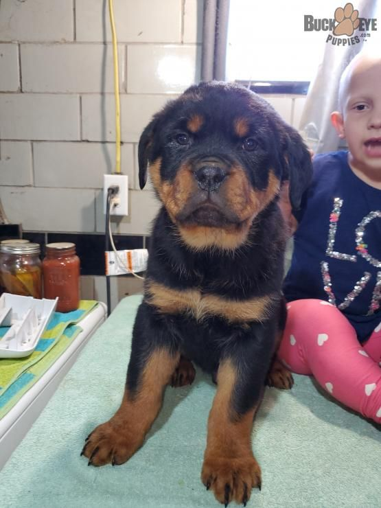 Oliver Rottweiler Puppy For Sale In Dundee Oh Buckeye Puppies In 2020 Rottweiler Puppies Rottweiler Puppies For Sale