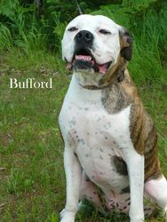 Bufford is an adoptable American Bulldog Dog in Lincoln, MI. This is our very , very handsome boy Bufford! He is in need of a fantastic new home and says if you are looking for 90 pounds of love, look...