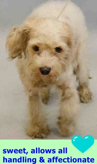 SAFE❤️❤️ 9/11/16 BY RED HOOK RESCUE - WENT STRAIGT TO VET!! GET WELL LITTLE PRINCESS❤️ RETURNED 9/9/16 !! PET HEALTH!! SAFE 9/2/16 Manhattan Center JASMINE – A1087484 FEMALE, WHITE, SCHNAUZER MIN / POODLE MIN, 6 yrs STRAY – STRAY WAIT, NO HOLD Reason STRAY Intake condition EXAM REQ Intake Date 08/27/2016 http://nycdogs.urgentpodr.org/jasmine-a1087484/