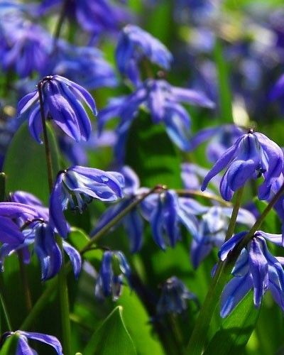 Scilla Siberica Flower Bulbs - DutchGrown: