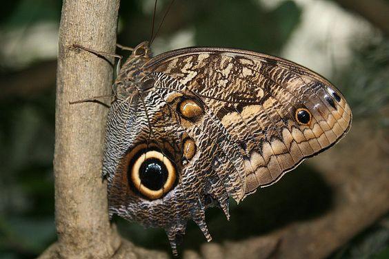 a excêntrica e linda borboleta-coruja