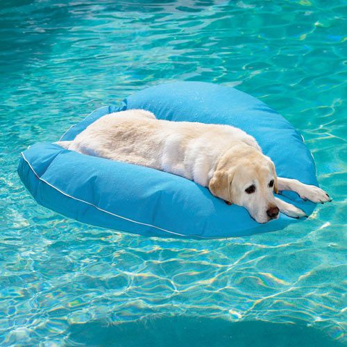 A happy Labrador Retriever floats in the pool on his own Floating Dog Bed. Looks great! Floating Dog Bed by Frontgate