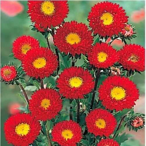 30 Aster Kurenai Red And Yellow Flower Seeds Self Seed Aster Flower Flower Seeds Flower Seeds Online