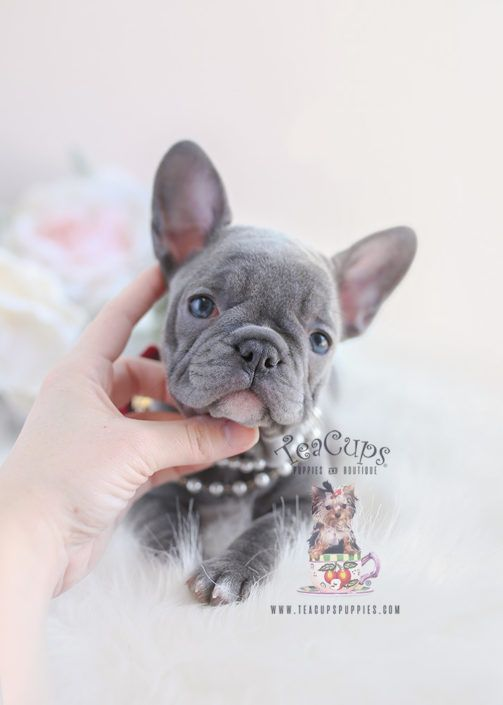 Lilac French Bulldog Puppy For Sale 096 Teacup Puppies Teacuppuppies Cuccioli Bestioline Cani