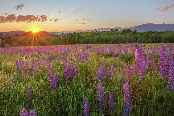 The sunrise over the White Mountains, shining on the Lupines of Sugar Hill New Hampshire USA.