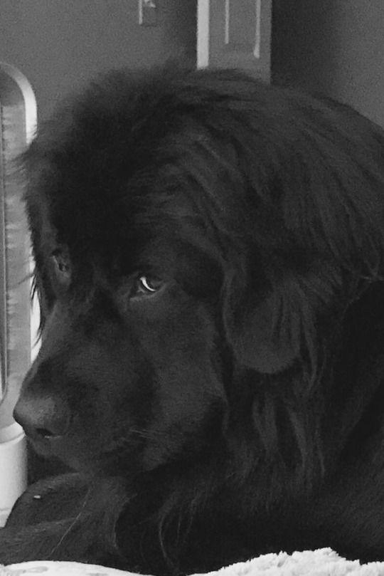 Pour Le Plaisir Des Yeux Beautiful Dogs Newfoundland Puppies Newfoundland Dog