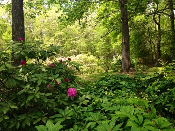 Woodland shade garden: hellebores and rhododendrons