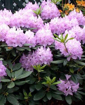 Rhododendron catawbiense 'Borsault'