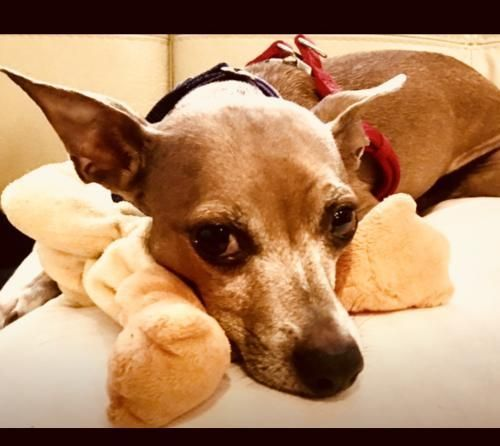 Adopt Tony Danza On Italian Greyhound Tony Danza Animal Rescue