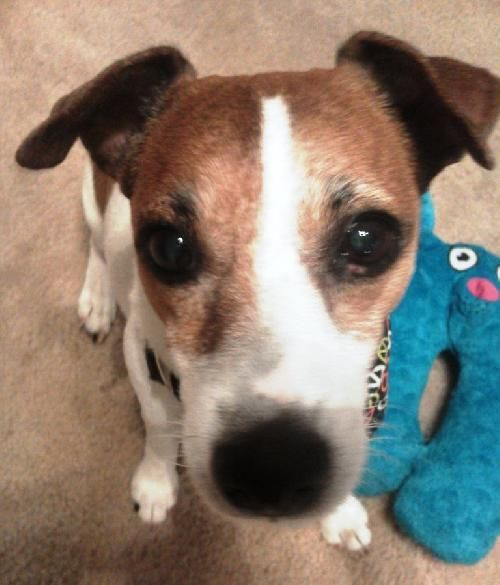 GATOR Fully vetted Jack Russell Terrier with short coat. Make sweet and quiet, 8 years old. A real darling walks on leash, minds, cuddler. Donation $50. Elderly couple with serious illness must give him up. contact maggihall14@gmail.com or 386.717.9991: