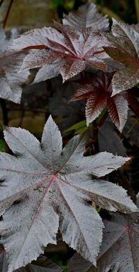 Castor Bean (Ricinus communis) - saw these at a garden show today; want to order them for next year; beautiful, big purple leaves