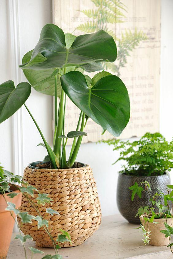 planta de hoja grande con cesto de fibra natural 00451418 O