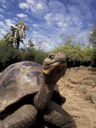 Giant Tortoise on Galapagos Islands, Ecuador