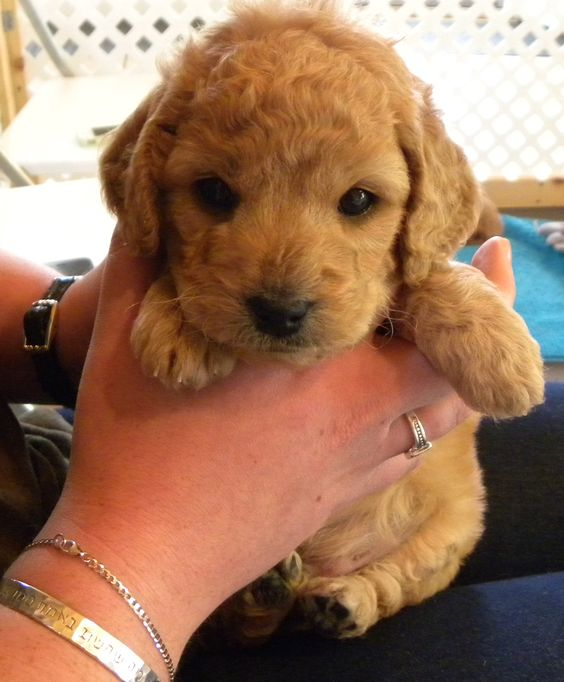 our new baby - mini goldendoodle!   Goldendoodles ...