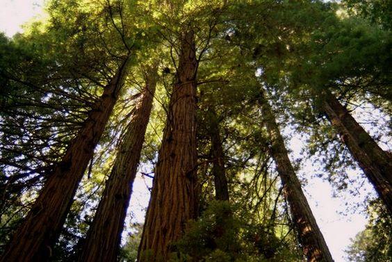 redwood trees california | redwood-trees-california.jpg