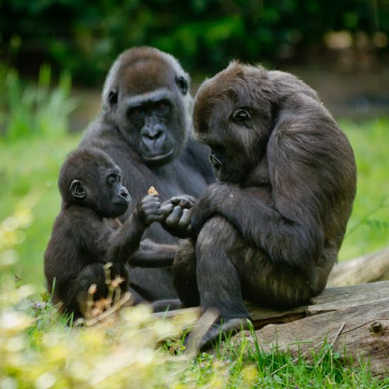 ... Tudo Roch@ ...: Natureza Incrível #5 - No Reino dos Gorilas, o duelo dos…