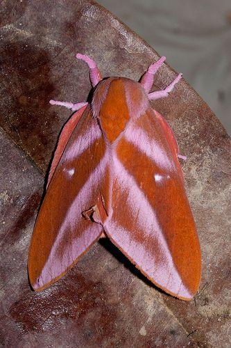 Rachesa Reventador Nachtfalter Insekten Und Falter