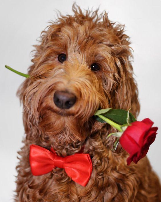 Happy Valentine's Day!  #oliverthegoldendoodle #goldendoodle