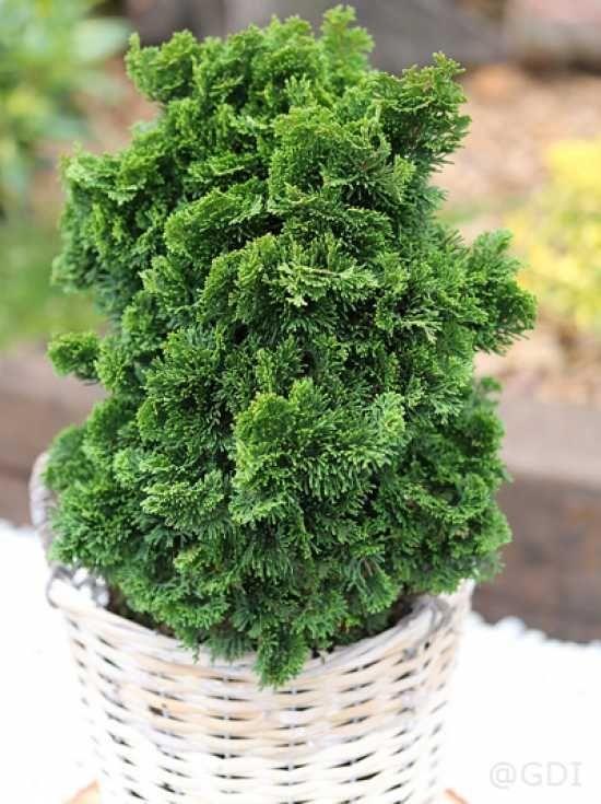 Jetzt Chamaecyparis Obtusa Nana Gracilis Zwerg Muschelzypresse Nana Gracilis Gunstig Kaufen Bis Zu 20 Prozent Rabatt Muschelzypresse Vorgarten Pflanzen
