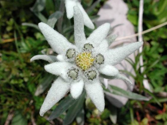 edelweiss flower in pirin mountain in bulgaria die. Black Bedroom Furniture Sets. Home Design Ideas
