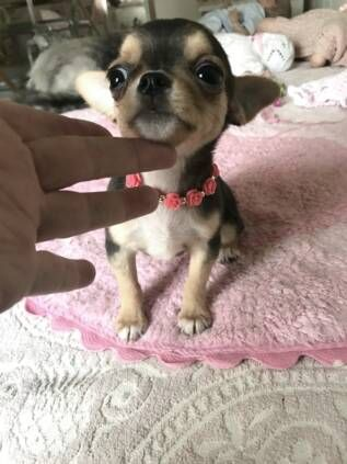 Chihuahua Puppy For Sale In Tracy Ca Adn 62875 On Puppyfinder