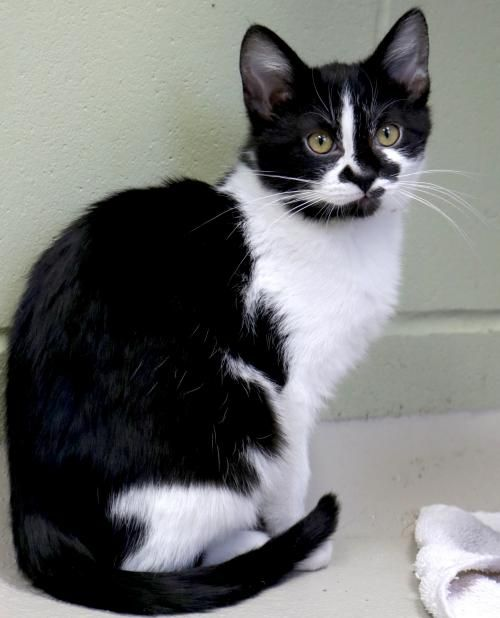 Hi I M Rudolph I M A 4 Month Old Neutered Male Black Mostly With White Domestic Short Hair Kitten Adoption Cats And Kittens Domestic Cat Breeds
