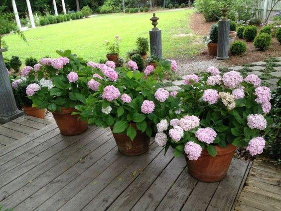 C mo cultivar hortensias en macetas pinterest plantas - Hortensias cuidados maceta ...