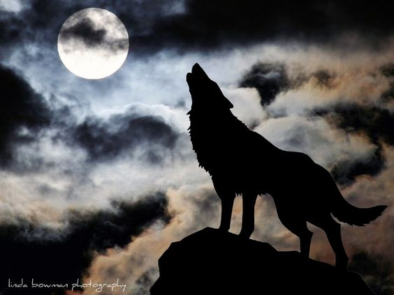 Howling wolf. The perfect profile of this beautiful creature. How many people have been fortunate enough to be out on a night like this and experienced such a sight?. If you have never climbed a mountain on a moonlit night and experienced the new day sunrise you don't know what you've missed. Try it while you can.