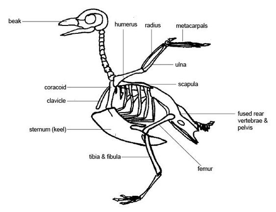 carolina parakeet anatomy