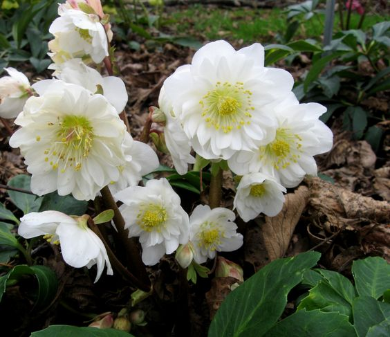 Growing Hellebores Those Lovely Harbingers Of Spring: Pinterest €� The World's Catalog Of Ideas