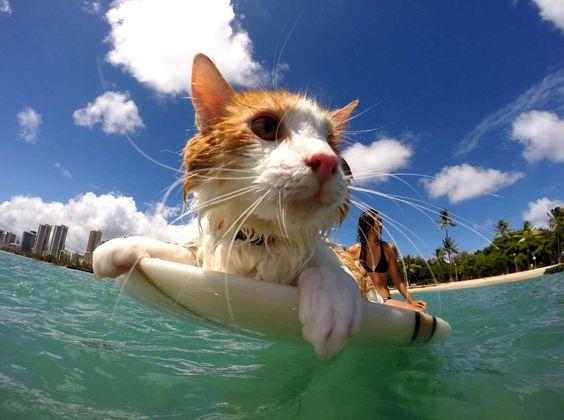 It is well known the surfer dogs but less cats. Well, it's been done. On connait bien les chiens surfeurs mais un peu moins les chats. Et bien, c'est chose faite.