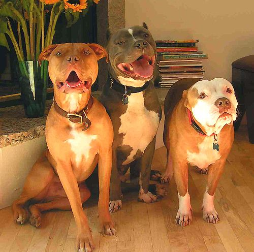 Excellent resource for training Bully Breed dogs