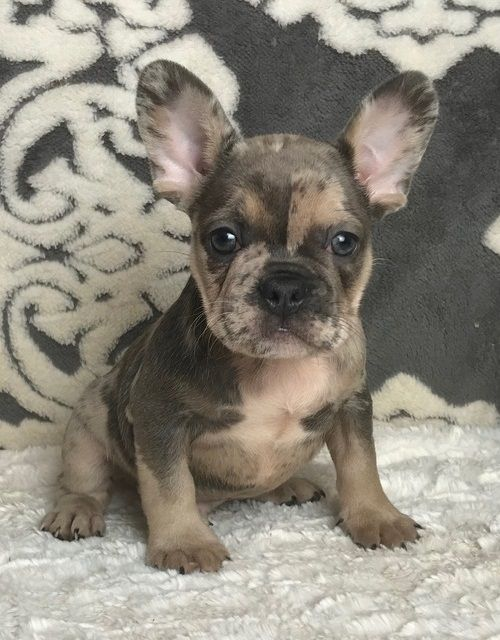 How To Buy Bulldog Puppies Online Adorable French Bulldog Puppy Needs A Great Adorable Bull Bulldog Puppies Cute French Bulldog French Bulldog Puppies