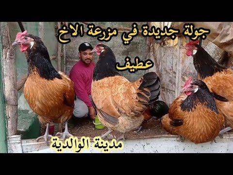 جولة جديدة لمزرعة السيد عطيف مربي دجاج السلالات البياضة و الدجاج البلدي Youtube In 2021 Animals Rooster