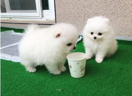 Affectionate Male And Female Pomeranian Puppies Pomeranian Puppy
