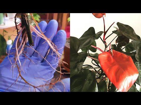 اكثار نبات فيلوديندرون احمر نبات الحب فيلوديندرون إروبسنس Youtube Fruit