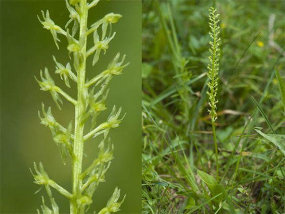 Малаксис однолистный - Malaxis monophyllos (L.) Sw.