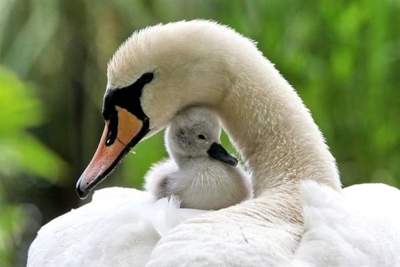 Mama and baby swan