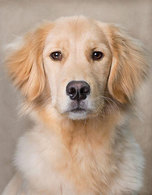 Pin By Tessy Hayard On Golden Retriever Dogs Golden Retriever