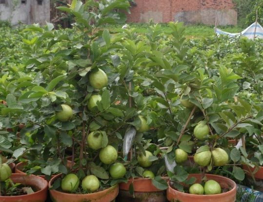 Growing Fruit In Pots Plants Potted Trees Growing Fruit Trees